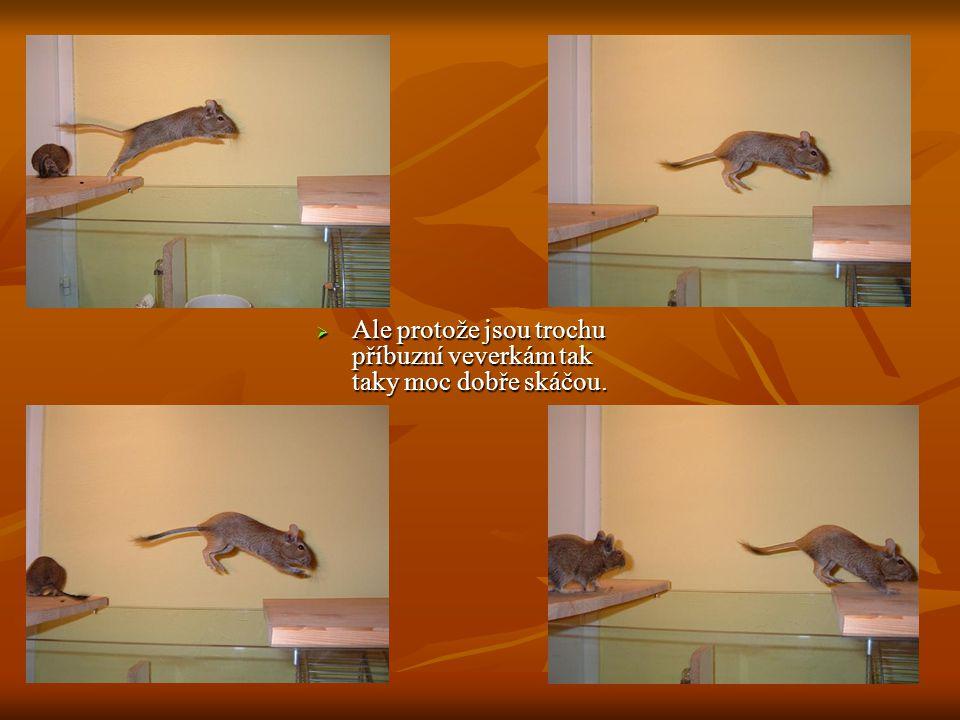  Ale protože jsou trochu příbuzní veverkám tak taky moc dobře skáčou.
