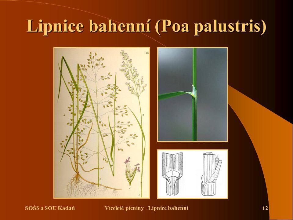 SOŠS a SOU KadaňVíceleté pícniny - Lipnice bahenní12 Lipnice bahenní (Poa palustris)