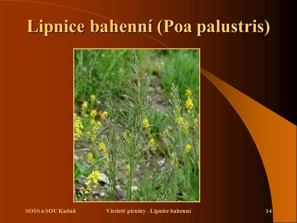 SOŠS a SOU KadaňVíceleté pícniny - Lipnice bahenní14 Lipnice bahenní (Poa palustris)