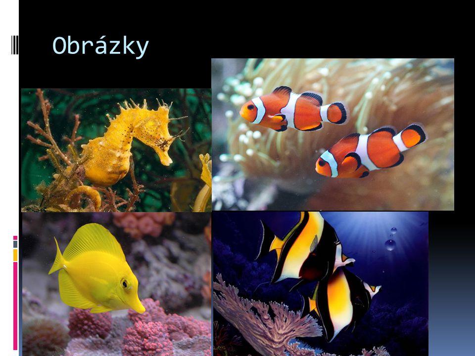 Rybky  Klaun očkatý  Klauni mají oranžovou barvu s bílými pruhy.