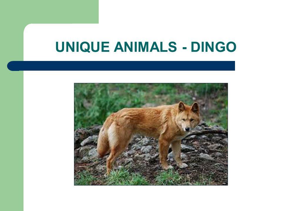 UNIQUE ANIMALS - DINGO