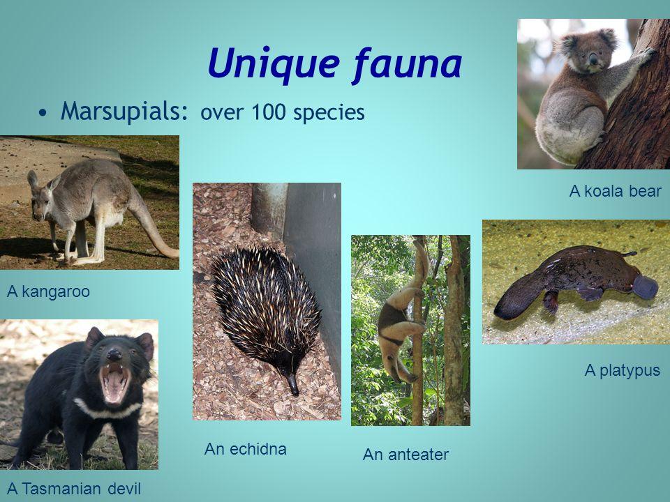 Unique fauna Marsupials: over 100 species A kangaroo A koala bear A platypus An echidna An anteater A Tasmanian devil
