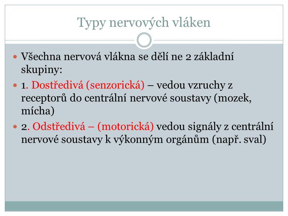 Typy nervových vláken Všechna nervová vlákna se dělí ne 2 základní skupiny: 1.
