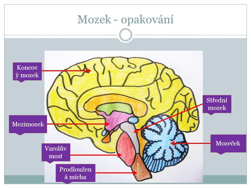 Mozek - opakování Koncov ý mozek Prodloužen á mícha Mozeček Střední mozek Varolův most Mezimozek