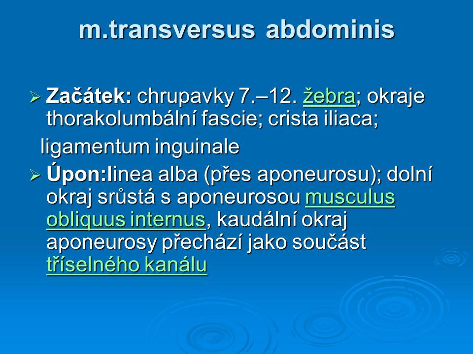 m.transversus abdominis m.transversus abdominis  Začátek: chrupavky 7.–12. žebra; okraje thorakolumbální fascie; crista iliaca; žebra ligamentum ingu