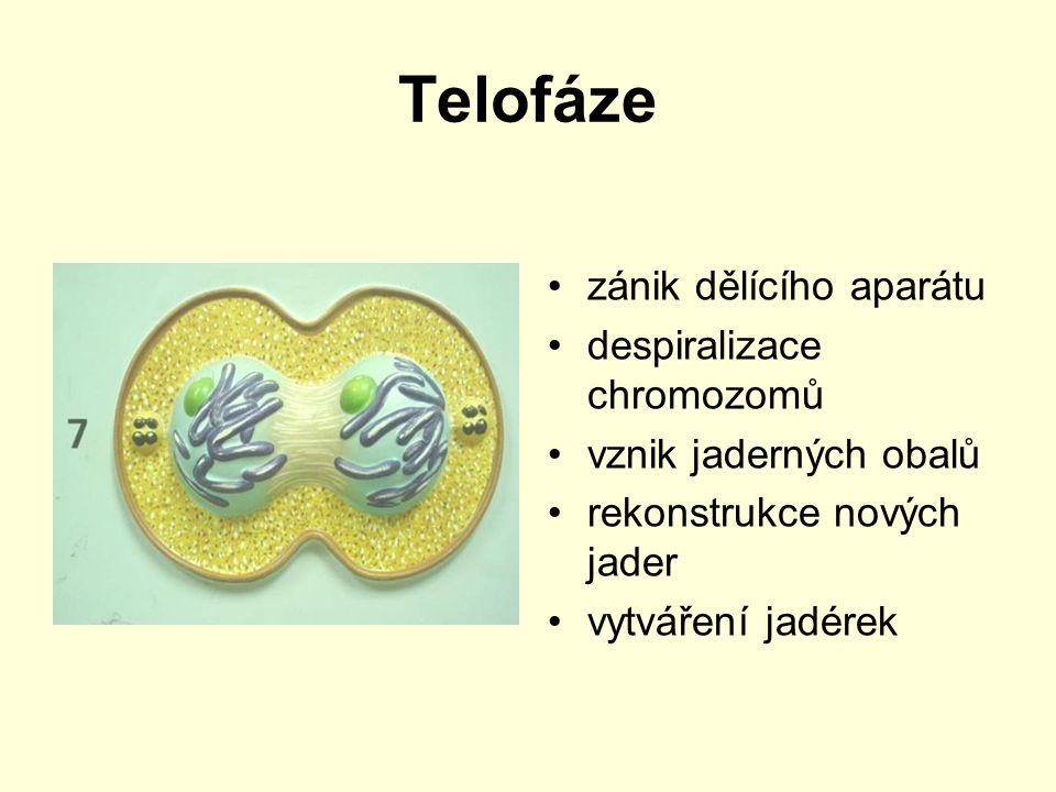 Telofáze zánik dělícího aparátu despiralizace chromozomů vznik jaderných obalů rekonstrukce nových jader vytváření jadérek