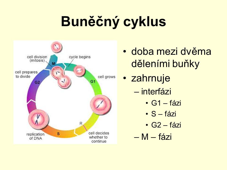 Buněčný cyklus interfáze – období mezi ukončenou a nejbližší další mitózou (dělení jádra) –G 1 -fáze – postmitotická fáze (buňka roste) –S-fáze – syntetická fáze (zdvojnásobení obsahu DNA) –G 2 -fáze – premitotická fáze (příprava na mitózu, buňka roste, zdvojují se organely, vzniká mitotické vřeténko,…) M-fáze - mitóza