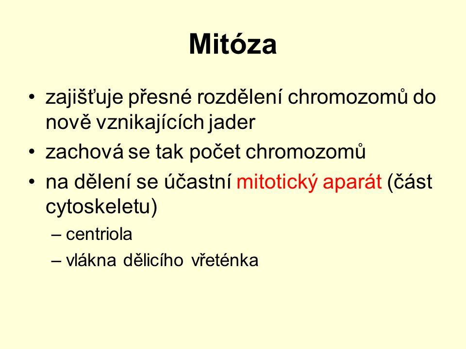 Mitóza ve školních podmínkách Mitózu lze pozorovat v buňkách kořenových meristémů cibule.