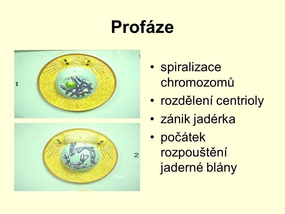 Profáze spiralizace chromozomů rozdělení centrioly zánik jadérka počátek rozpouštění jaderné blány