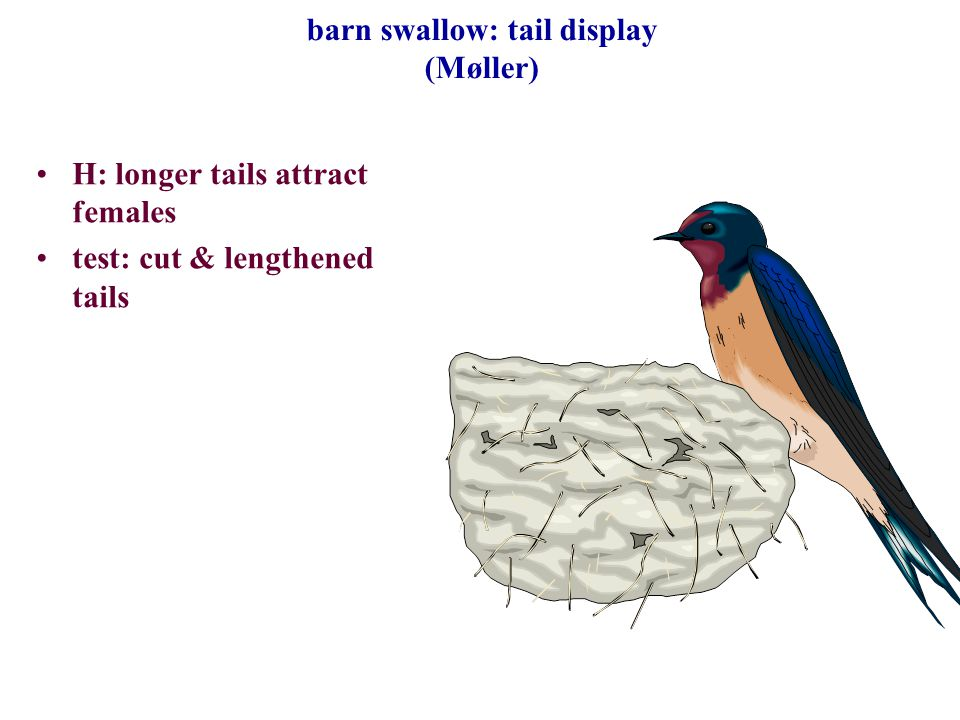barn swallow: tail display (Møller) H: longer tails attract females test: cut & lengthened tails