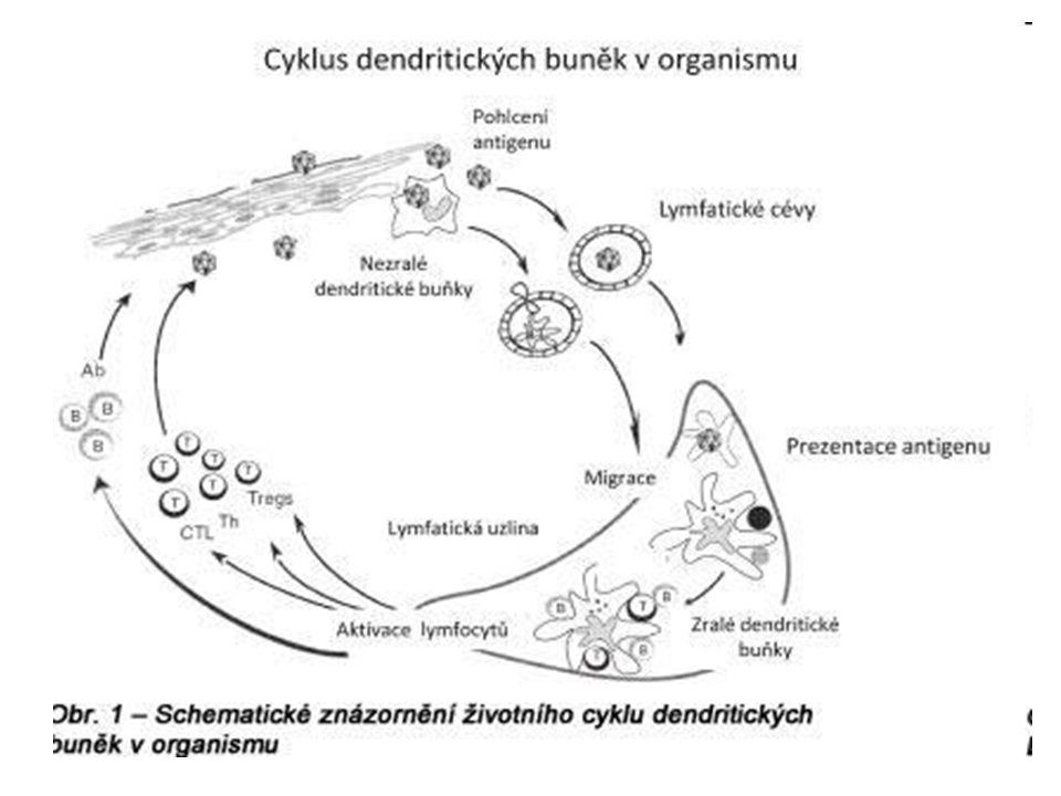 -DC rozptýlené v nádorové tkáni jsou nezbytné pro indukci specifické imunity -hlavní úlohu v obraně proti nádoru mají T H 1 (IFN  TNF  )- tumoricidní aktivita a tlumení angiogeneze -T H 2 → podpora B lymfocytů → nádorově specifické protilátky - nádorové bb.