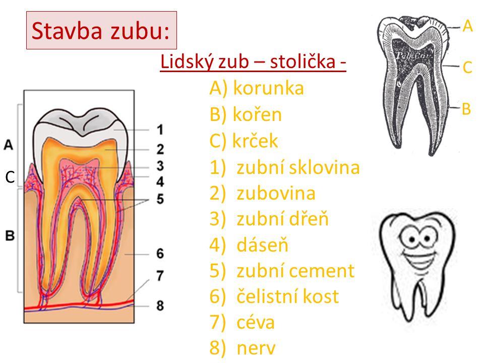 Stavba zubu: Lidský zub – stolička - A) korunka B) kořen 1)zubní sklovina 2)zubovina 3)zubní dřeň 4)dáseň 5)zubní cement 6)čelistní kost 7)céva 8)nerv A C B C) krček C
