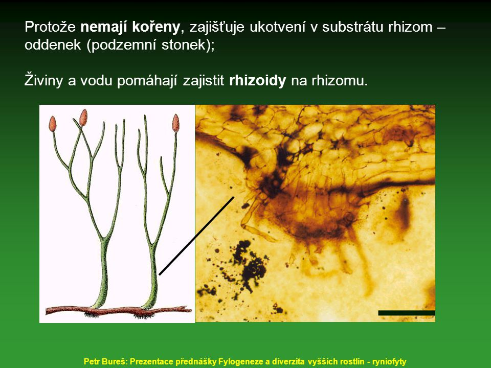 Protože nemají kořeny, zajišťuje ukotvení v substrátu rhizom – oddenek (podzemní stonek); Živiny a vodu pomáhají zajistit rhizoidy na rhizomu. Petr Bu