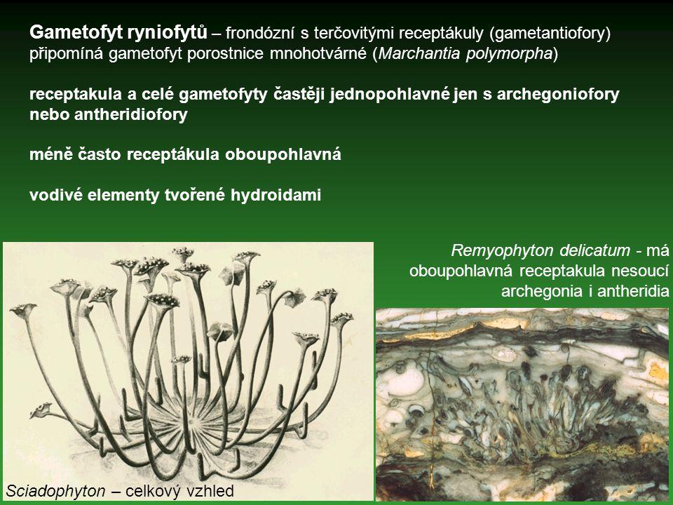 Gametofyt ryniofytů – frondózní s terčovitými receptákuly (gametantiofory) připomíná gametofyt porostnice mnohotvárné (Marchantia polymorpha) receptak