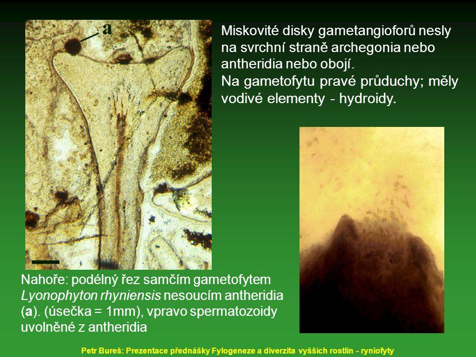 Miskovité disky gametangioforů nesly na svrchní straně archegonia nebo antheridia nebo obojí. Na gametofytu pravé průduchy; měly vodivé elementy - hyd