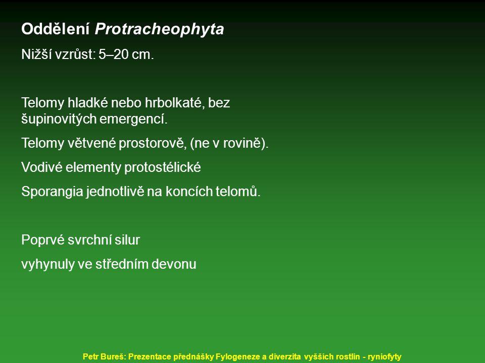 Oddělení Protracheophyta Nižší vzrůst: 5–20 cm. Telomy hladké nebo hrbolkaté, bez šupinovitých emergencí. Telomy větvené prostorově, (ne v rovině). Vo
