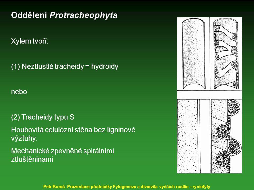 Oddělení Protracheophyta Xylem tvoří: (1) Neztlustlé tracheidy = hydroidy nebo (2) Tracheidy typu S Houbovitá celulózní stěna bez ligninové výztuhy. M