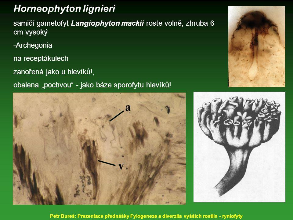 Horneophyton lignieri samičí gametofyt Langiophyton mackii roste volně, zhruba 6 cm vysoký -Archegonia na receptákulech zanořená jako u hlevíků!, obal