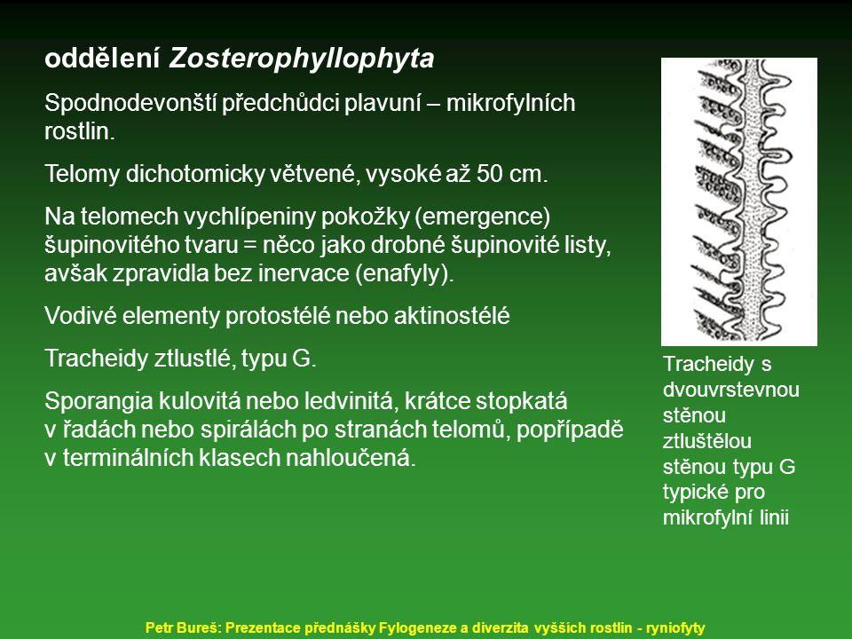 oddělení Zosterophyllophyta Spodnodevonští předchůdci plavuní – mikrofylních rostlin. Telomy dichotomicky větvené, vysoké až 50 cm. Na telomech vychlí