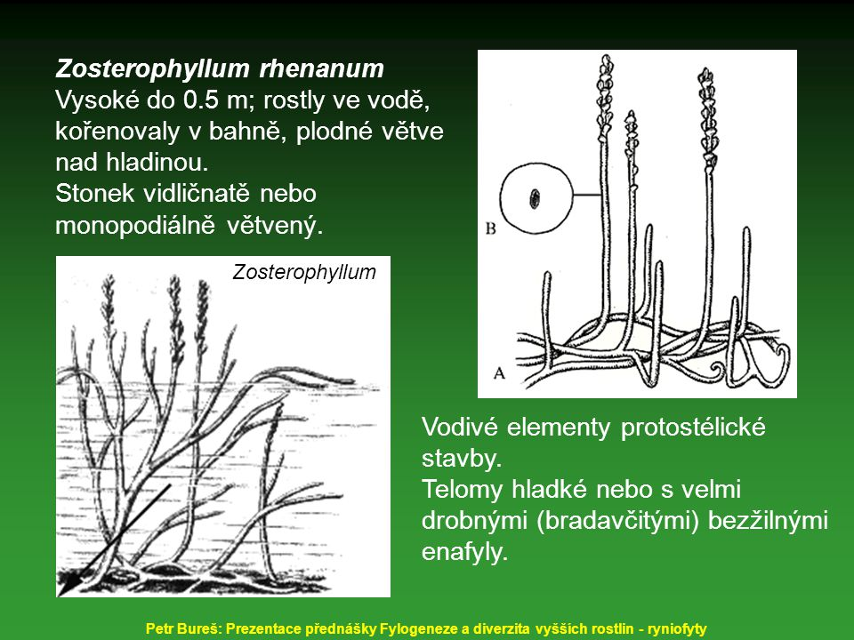 Zosterophyllum rhenanum Vysoké do 0.5 m; rostly ve vodě, kořenovaly v bahně, plodné větve nad hladinou. Stonek vidličnatě nebo monopodiálně větvený. V