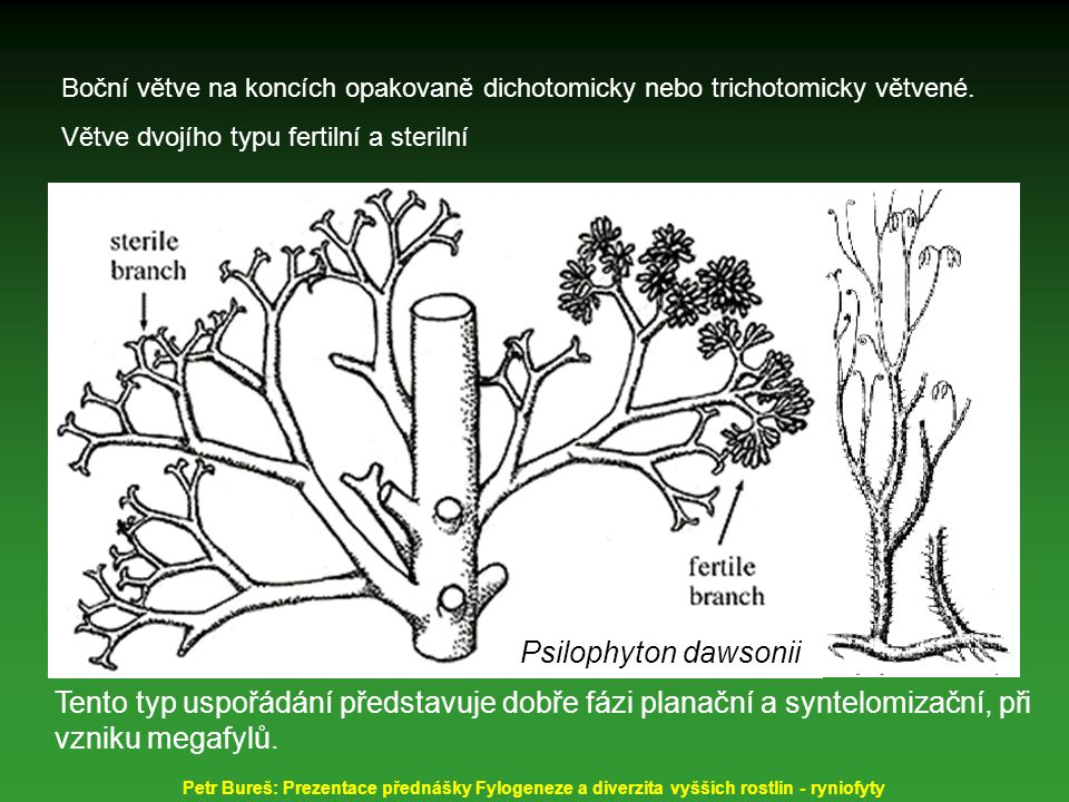 Boční větve na koncích opakovaně dichotomicky nebo trichotomicky větvené. Větve dvojího typu fertilní a sterilní Psilophyton dawsonii Tento typ uspořá