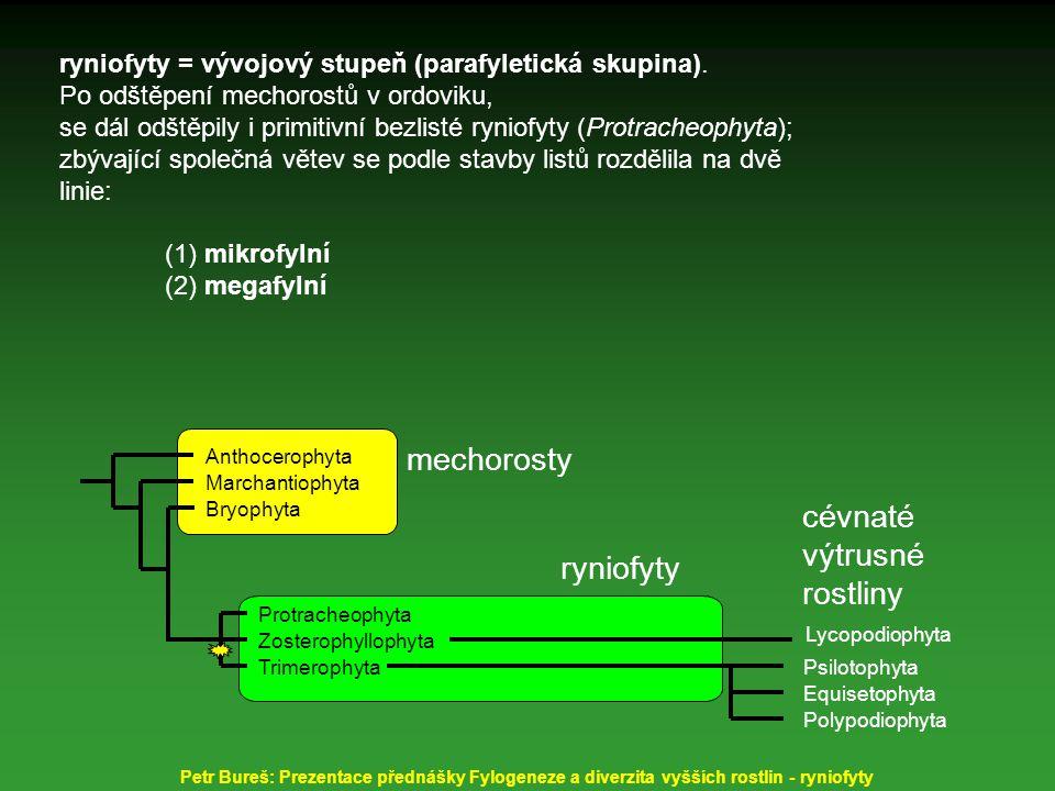 Horneophyton lignieri (dříve Hornea), nadzemní bezlistý, hladký stonek vidličnatě větvený, do 2 mm tlustý, výška sporofytních rostlin do 20 cm; tracheidy - spirálně vyztužené fertilní telomy zakončeny válcovitými sporangii rhizom hlíznatě uzlovitý - na spodu s rhizoidy, s patrnou mykorrhizou Petr Bureš: Prezentace přednášky Fylogeneze a diverzita vyšších rostlin - ryniofyty