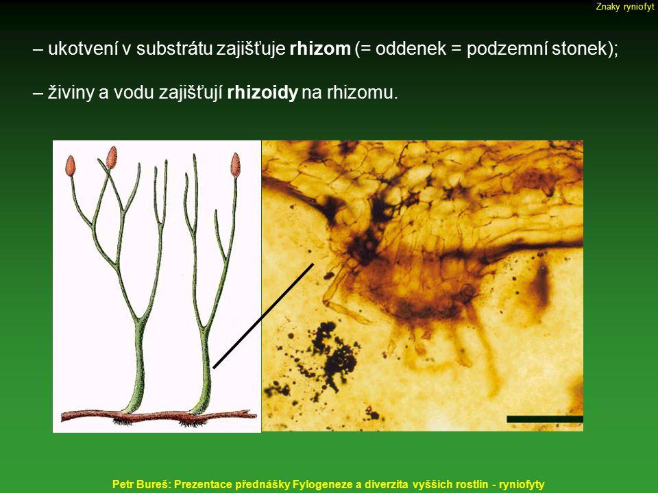 – ukotvení v substrátu zajišťuje rhizom (= oddenek = podzemní stonek); – živiny a vodu zajišťují rhizoidy na rhizomu. Petr Bureš: Prezentace přednášky