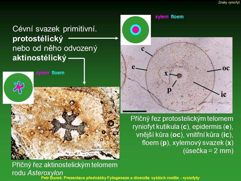 Cévní svazek primitivní. protostélický nebo od něho odvozený aktinostélický Příčný řez protostelickým telomem ryniofyt kutikula (c), epidermis (e), vn