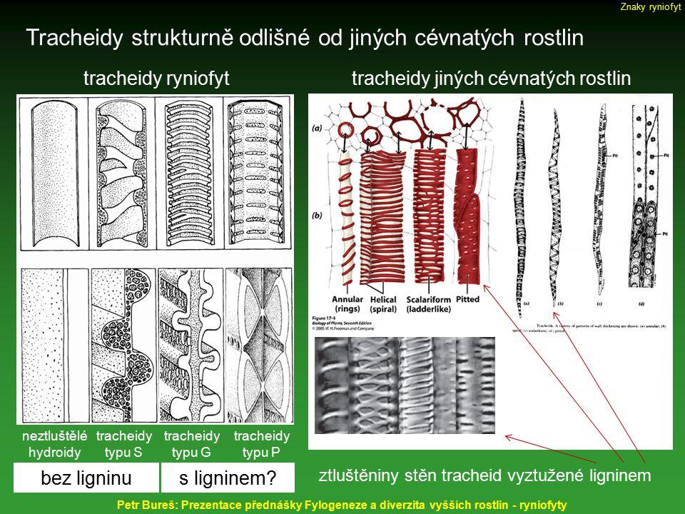 Tracheidy strukturně odlišné od jiných cévnatých rostlin Petr Bureš: Prezentace přednášky Fylogeneze a diverzita vyšších rostlin - ryniofyty tracheidy