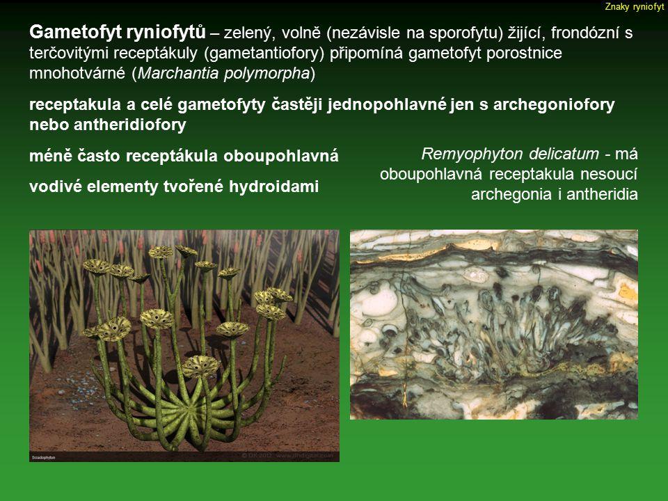 Gametofyt ryniofytů – zelený, volně (nezávisle na sporofytu) žijící, frondózní s terčovitými receptákuly (gametantiofory) připomíná gametofyt porostni
