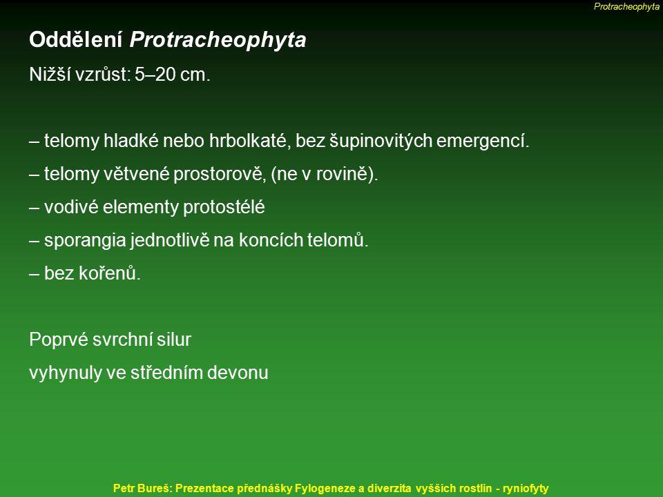 Oddělení Protracheophyta Nižší vzrůst: 5–20 cm. – telomy hladké nebo hrbolkaté, bez šupinovitých emergencí. – telomy větvené prostorově, (ne v rovině)