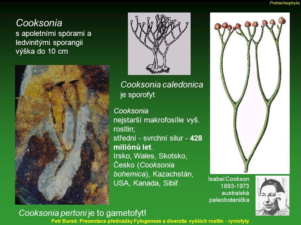 Cooksonia s apoletními spórami a ledvinitými sporangii výška do 10 cm Cooksonia caledonica je sporofyt Cooksonia pertoni je to gametofyt! Cooksonia ne