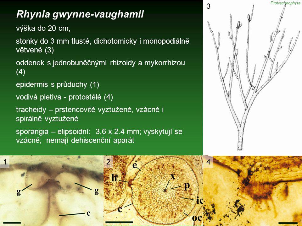Rhynia gwynne-vaughamii výška do 20 cm, stonky do 3 mm tlusté, dichotomicky i monopodiálně větvené (3) oddenek s jednobuněčnými rhizoidy a mykorrhizou