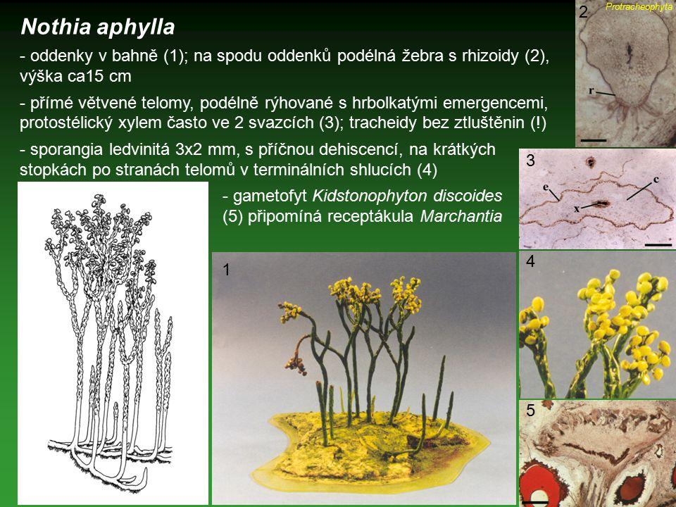 Nothia aphylla - oddenky v bahně (1); na spodu oddenků podélná žebra s rhizoidy (2), výška ca15 cm - přímé větvené telomy, podélně rýhované s hrbolkat