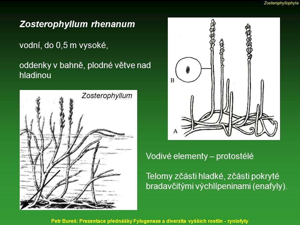 Zosterophyllum rhenanum vodní, do 0,5 m vysoké, oddenky v bahně, plodné větve nad hladinou Vodivé elementy – protostélé Telomy zčásti hladké, zčásti p