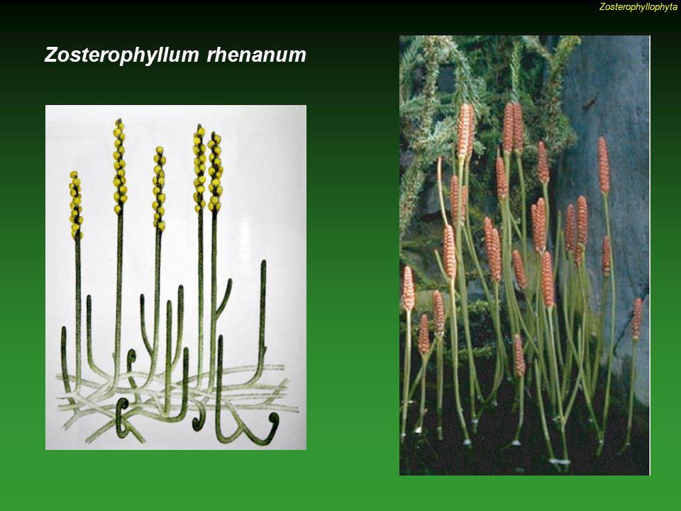 Zosterophyllum rhenanum Zosterophyllophyta