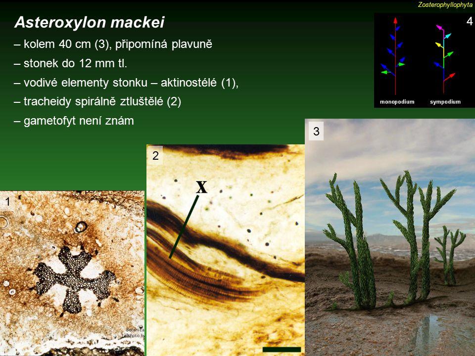 Asteroxylon mackei – kolem 40 cm (3), připomíná plavuně – stonek do 12 mm tl. – vodivé elementy stonku – aktinostélé (1), – tracheidy spirálně ztluště