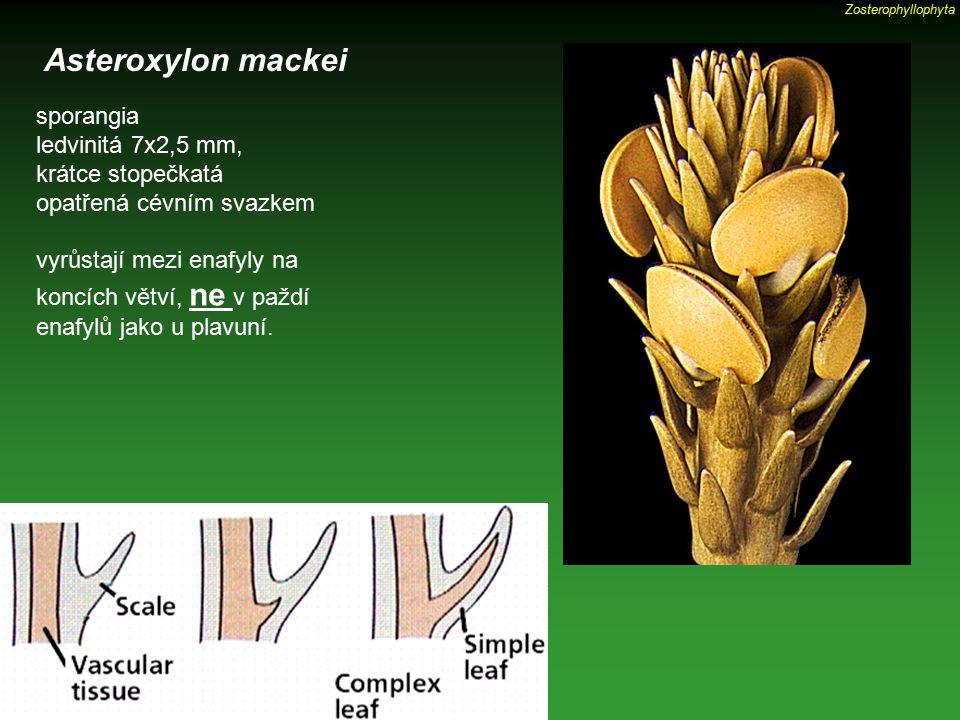sporangia ledvinitá 7x2,5 mm, krátce stopečkatá opatřená cévním svazkem vyrůstají mezi enafyly na koncích větví, ne v paždí enafylů jako u plavuní. As