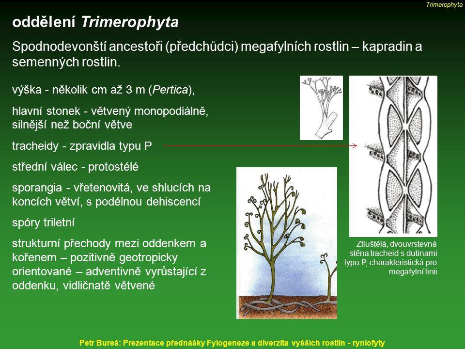 oddělení Trimerophyta Spodnodevonští ancestoři (předchůdci) megafylních rostlin – kapradin a semenných rostlin. výška - několik cm až 3 m (Pertica), h