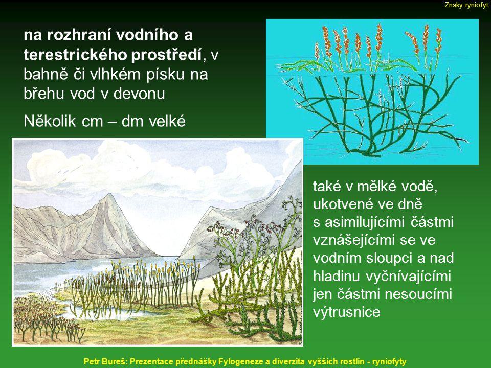 Horneophyton lignieri (dříve Hornea), nadzemní bezlistý, hladký stonek vidličnatě větvený, do 2 mm tlustý, výška sporofytních rostlin do 20 cm; tracheidy - spirálně vyztužené fertilní telomy zakončeny válcovitými sporangii rhizom hlíznatě uzlovitý - na spodu s rhizoidy, s patrnou mykorrhizou Petr Bureš: Prezentace přednášky Fylogeneze a diverzita vyšších rostlin - ryniofyty Protracheophyta