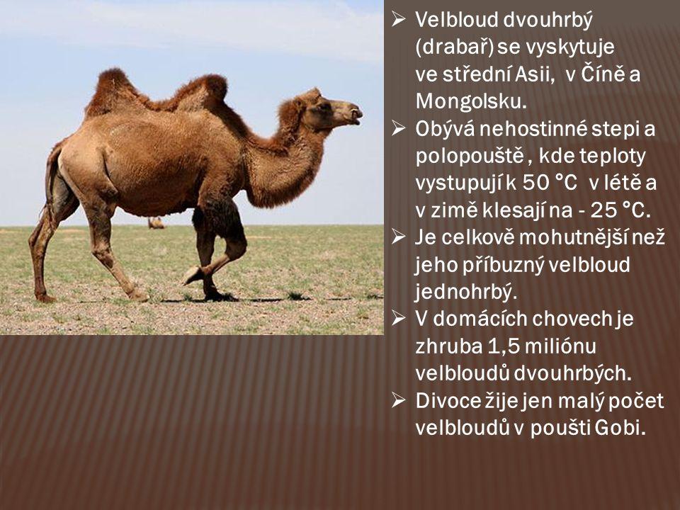  Velbloud dvouhrbý (drabař) se vyskytuje ve střední Asii, v Číně a Mongolsku.  Obývá nehostinné stepi a polopouště, kde teploty vystupují k 50 °C v
