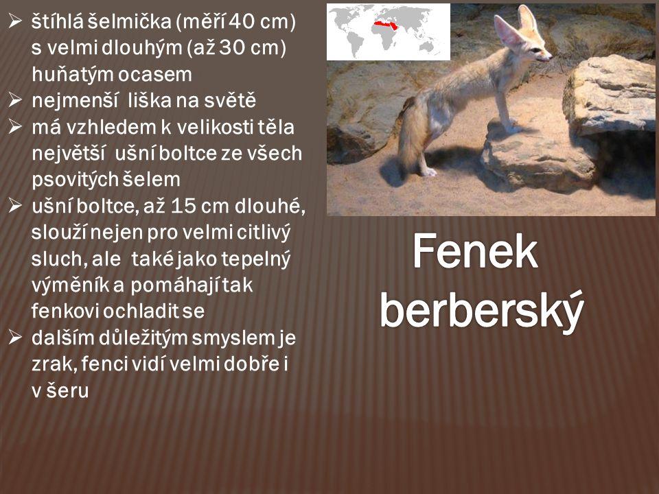 štíhlá šelmička (měří 40 cm) s velmi dlouhým (až 30 cm) huňatým ocasem  nejmenší liška na světě  má vzhledem k velikosti těla největší ušní boltce