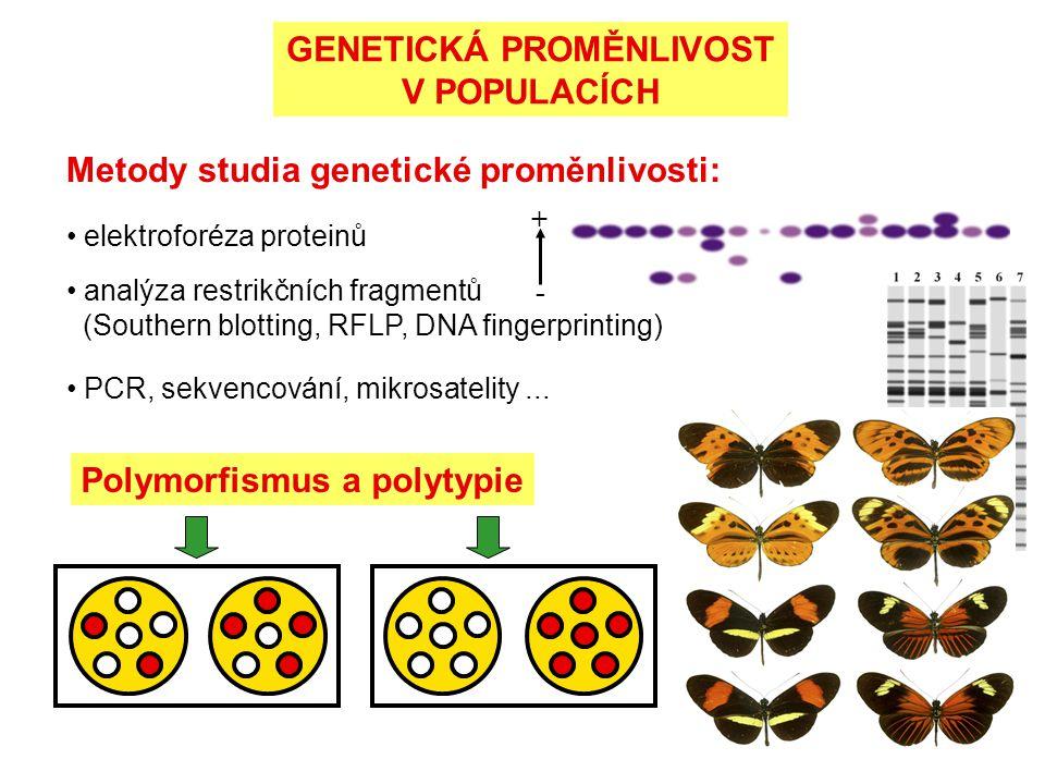 GENETICKÁ PROMĚNLIVOST V POPULACÍCH Metody studia genetické proměnlivosti: elektroforéza proteinů + - analýza restrikčních fragmentů (Southern blottin