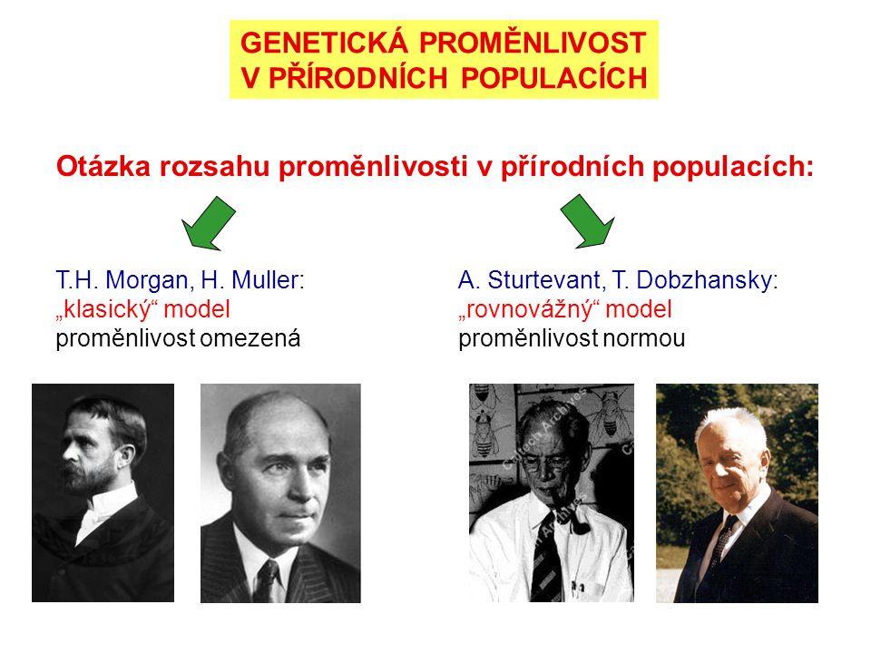 """Otázka rozsahu proměnlivosti v přírodních populacích: T.H. Morgan, H. Muller: """"klasický"""" model proměnlivost omezená A. Sturtevant, T. Dobzhansky: """"rov"""