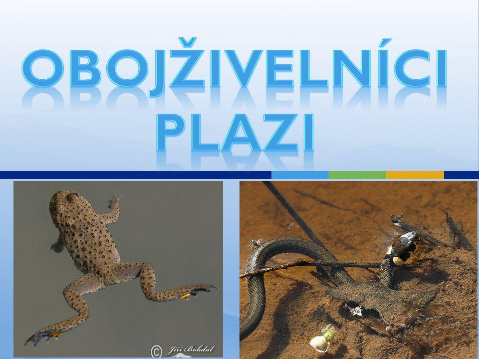 Plazi v lese Plazi - jsou přizpůsobeni k životu na souši v ČR – hadi (bez končetin) a ještěři HADI:  zmije obecná na lesních pasekách duté zuby spojené s jedovou žlázou plachá, útočí jen v ohrožení nebo na kořist loví myši a hraboše v zimě – ztuhlá v děrách – má proměnlivou tělesnou teplota v ČR chráněná zákonem PRVNÍ POMOC PŘI UŠTKNUTÍ: zachovat klid  co nejrychlejší přesun k lékaři JEŠTĚŘI:  ještěrka (j.