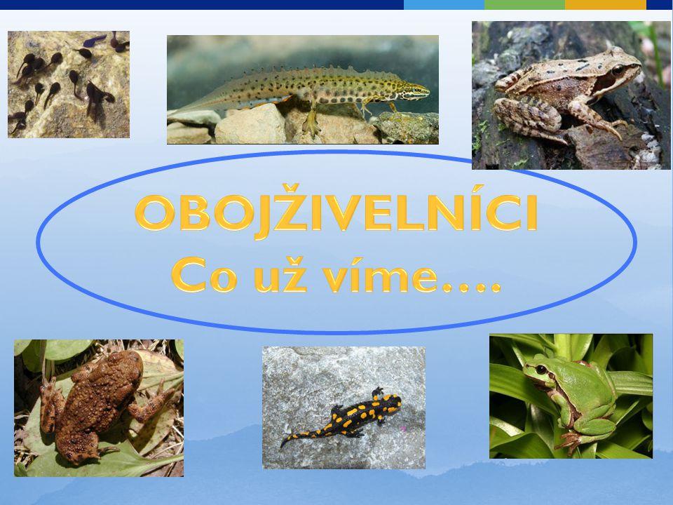 OBRATLOVCI LESA – oboj ž ivelníci Obratlovci – mají vnitřní kostru s páteří z obratlů Obojživelníci v lese žáby (bez ocasu, silné zadní nohy  skáčou) a mloci (ocas) žáby: skokan hnědý (skáče), ropucha obecná (leze, má jedové žlázy), rosnička zelená (na keřích) mloci: mlok skvrnitý, čolek obecný zbarvení - ochranné (skokan) nebo výstražné (mlok) - má jedové žlázy v kůži vývoj - přes larvu = pulec - ve vodě, dýchá žábrami dospělec - na souši, dýchá plícemi a kůží – tenká, slizká rozmnožují se ve vodě potrava: hmyz, pavouci, plži  udržují biologickou rovnováhu citliví na čistotu prostředí, V ČR - chránění zákonem