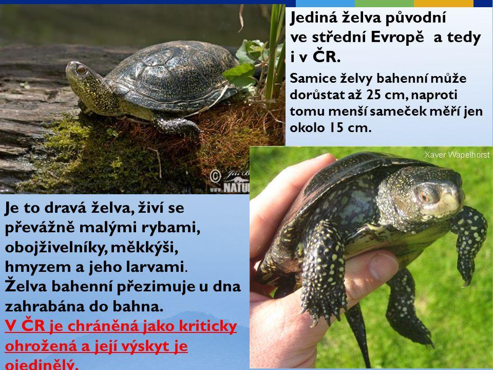 Jediná želva původní ve střední Evropě a tedy i v ČR. Samice želvy bahenní může dorůstat až 25 cm, naproti tomu menší sameček měří jen okolo 15 cm. Je