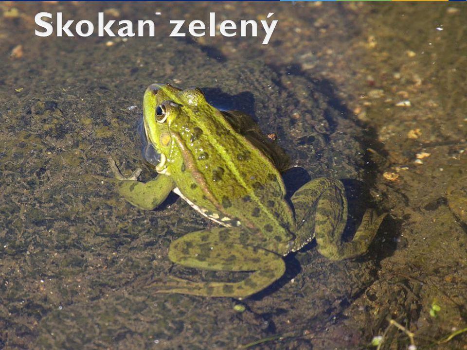 Skokan zelený tráví velkou část života ve vodě nebo v její blízkosti.