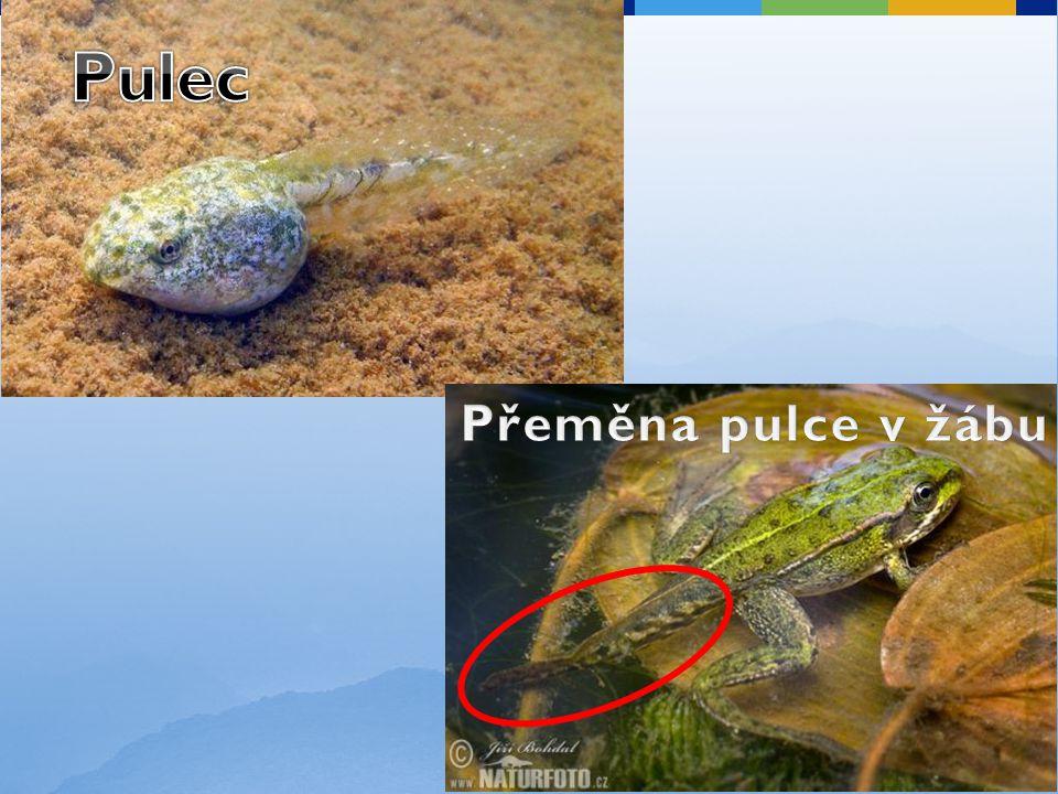 Jediná želva původní ve střední Evropě a tedy i v ČR.