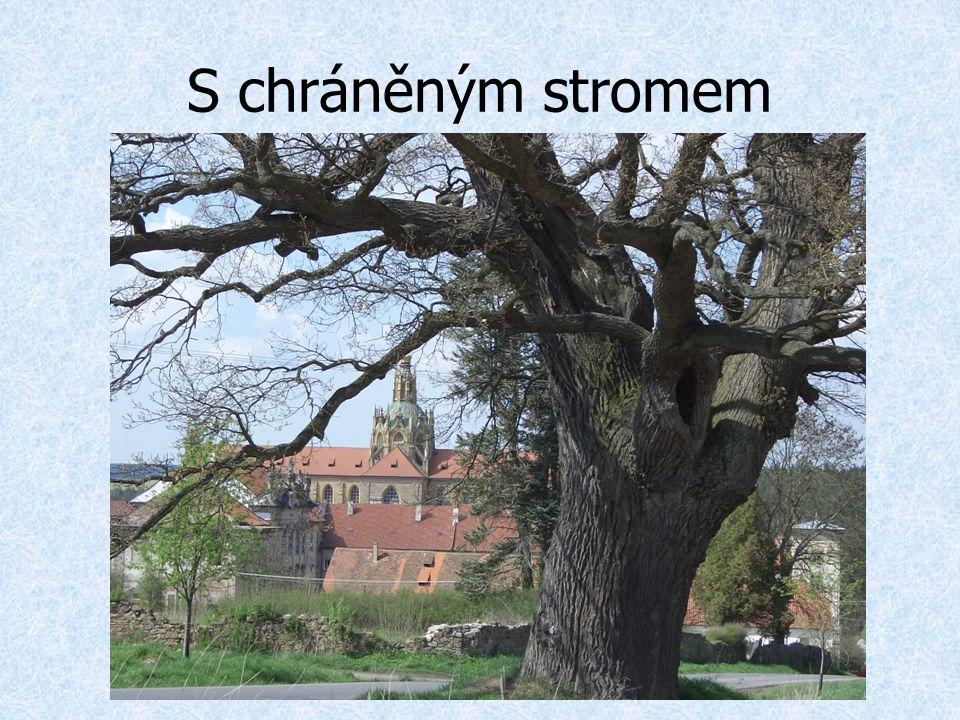 S chráněným stromem